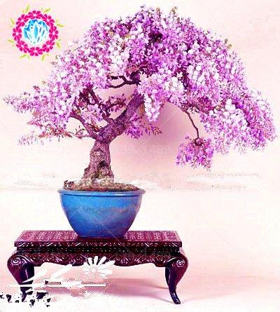 Galleria fotografica bonsai Wisteria sinensis albero 100% veri 10 pz