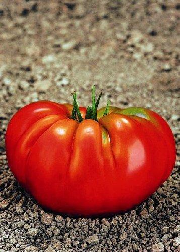 Tropica - Tomaten - Rouge Marmande F1 (Lycopersicon esculentum) - 10 Samen - Fleischtomate