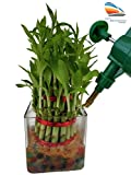 #4: SMZ Brandlines Lucky Bamboo 3 Layer Plant with Big Square Glass Pot and Coloured Jelly Balls