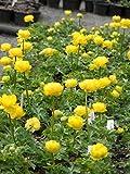 Trollius europaeus compactus Lemon Supreme - Europäische Trollblume, 3 Pflanzen