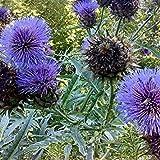 PLAT firm-semi di piante Mondo Seeds - Cynara cardunculus 'cardo' Semi