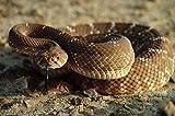 The Poster Corp Larry Minden - Red Rattlesnake Baja