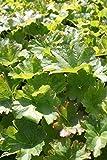 Wasserpflanzen Wolff - Darmera peltata - Peltiphyllum peltatum - Schildblatt, rosa