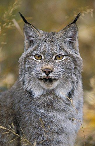 Thomas Kitchin & Victoria Hurst/Design Pics - Tk0568 Thomas Kitchin; Lynx. Autumn. Rocky Mountains. North America. Felis Lynx Canadensis. Photo Print (55,88 x 86,36 cm) Rocky Lynx