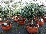 Olivenbaum Bonsai Formgehölz, Olive winterhart, Olea europaea
