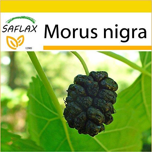 SAFLAX - Anzucht Set - Schwarzer Maulbeerbaum - 200 Samen - Morus nigra