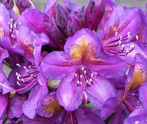 baumschule-anding-rhododendron-hybride-marcel-menard-