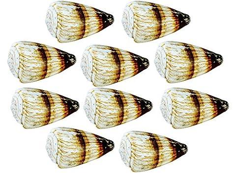 Muscheln ausgewählte Qualität - Soldier Konus Shell: Conus Miles - Muscheln für Seemuschel Vasen, Boxen, Bilderrahmen, Schmuckherstellung & Mini Garten Miniatur