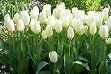 50 pezzi bulbi di tulipani bianchi purissima HAKUUN bulbo bianco da fiore