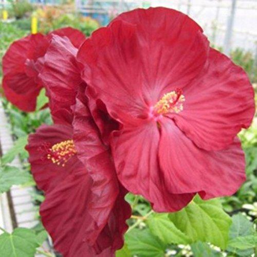 lichtnelke – Riesen-Hibiskus (Hibiscus moscheutos) Robert Fleming®