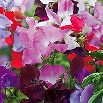 Potseed Keimfutter: 100 - Seeds: Sweet PEA Early Multiflora Mix Uni-Farben und EIN milder Duft! - Geben Sie Schiff frei! -