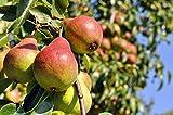 Sommerbirne als Buschbaum 40 - 60 cm
