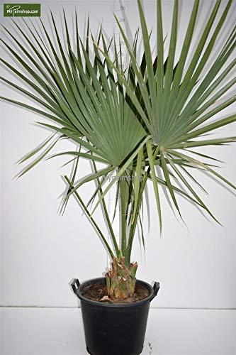 Zwerg Palmettopalme - Sabal minor - Gesamthöhe 150-160cm Stamm 15+cm Topf Ø 50cm - PALLETTENVERSAND INNERHALB DEUTSCHLAND