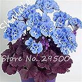 Virtue Auf Verkauf 100 Stücke Blau Geranium Samen Pelargonie Samen Zimmer Blumen Haus Pflanzen Bonsai Sky Blue Blumensamen Garten Blumentopf