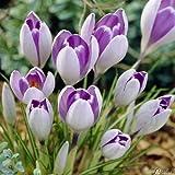Krokus Zwiebeln Vanguard - 15 Blumenzwiebeln (Crocus) - Krokusse zum Pflanzen, mehrjährig, winterhart mit Blumen-Blüten in sehr zartem lila außen und dunklem lila innen von Garten Schlüter