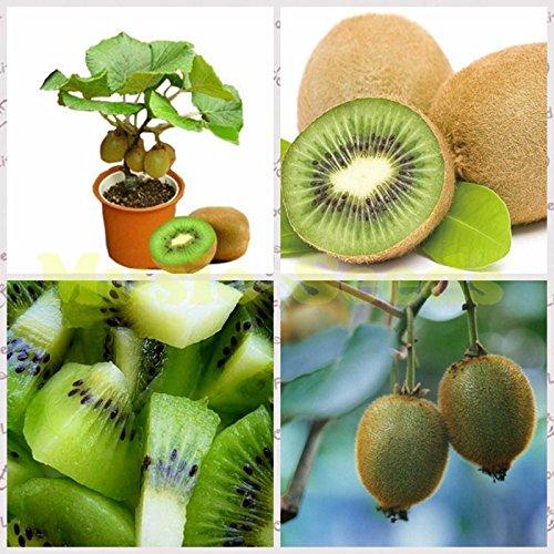 1bag = 100pcs Kiwi Seeds délicieux mini fruits exotiques rares Bonsai pot Décoration usine Maison et Jardin
