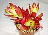 #1: K S Trading Live Succulent Plant Crassula Campfire
