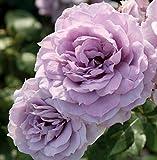'Novalis' -R-, Beetrose, ADR-Rose, A-Qualität Wurzelware