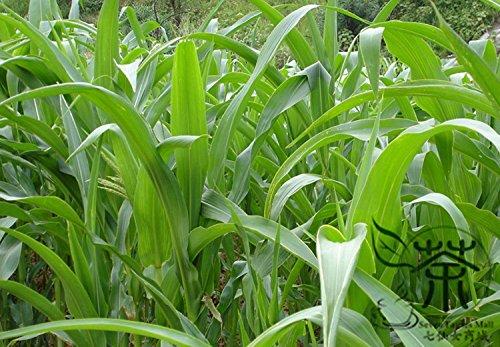 Source verte gazons herbe Graines Graines Evergreen gazon 200 graines / paquet