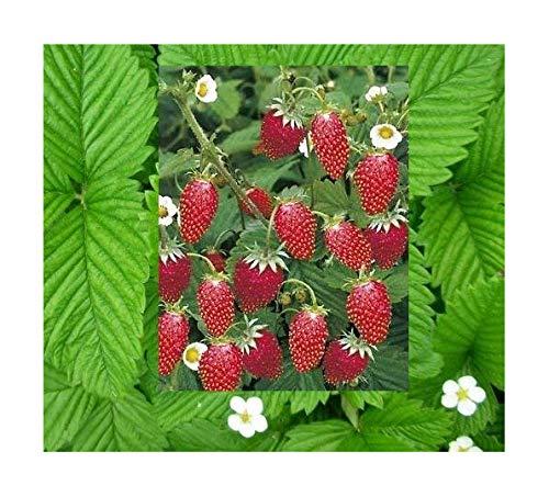 Fragaria Rügen - Monatserdbeere - 50 Samen