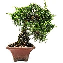 Chinesischer Wacholder, Juniperus chinensis, Outdoor-Bonsai, 19 Jahre, Höhe 12 cm