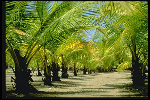 Palm Costa Rica (482036 Palm Plantation Playa De Jaco Costa Rica A4 Photo Poster Print 10x8)