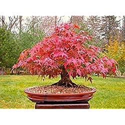 Japanische Rote Ahorn Bonsai-Baum, Wachsen Sie Ihr eigenes Baum, Büro-Dekor, 20pcs / bag Samen