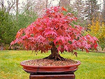 Acero giapponese Red Bonsai, Grow Your Own Albero, dell'ufficio della decorazione, 20pcs / sacchetto Semi