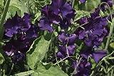 JustSeed - Flower - Duftende Platterbse - Spencer Type...