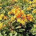 Fetthenne 'Weihenstephaner Gold' - Sedum floriferum 'Weihenstephaner Gold' 5-6 pro m , von Gartengruen24 auf Du und dein Garten