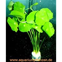 1 Manojo Hydrocotyle verticillata, Planta hutpilz