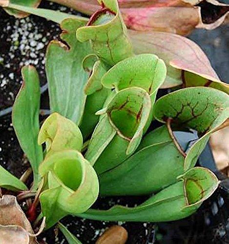 Fleischimanie - Sarracenia purpurea