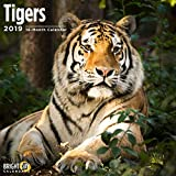 Tigers 2019 16 Month Wall Calendar 12 x 12 Inches