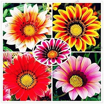 VISTARIC 10: 100 Pcs vrai Cactus Seeds, Mini Cactus, Figuier, Succulentes japonais Graines Bonsai Fleur, Plante en pot pour jardin 10