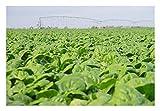 Premier Seeds Direct FK-F067-KBCL Spinach Medania Finest Seeds (Pack of 1000)