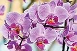 Póster Flores Mural Decoración Orquídeas Naturaleza Phalaenopsis Florecer Planta Satirión Floristería Primavera Relajación Bienestar Spa | foto póster imagen deco pared by GREAT ART (140 x 100 cm)
