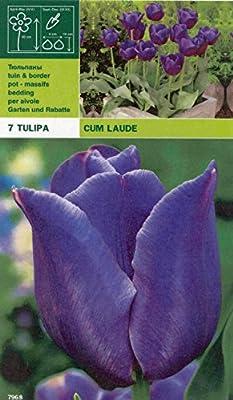 """Tulipa - Triumphtulpe """" Cum Laude """" (7) von GHA-Thulke - Du und dein Garten"""