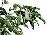 Tamarinde -Indischer Dattelbaum- (Tamarindus indica) 10 Samen