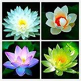 Aiden Gardens Rare mixed color Seed 15 seeds Bowl Lotus Flower water Aquatic Plants Nelumbo Nucifera