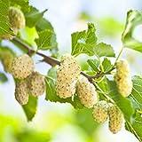 GELSO BIANCO ASIATICO- albero da frutto da esterno pianta vera