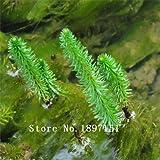 Grande vente Livraison gratuite Hot vendant 500pcs graines d'aquarium herbe ...
