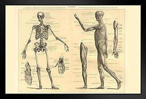 Anatomie Squelette humain et les muscles du corps Educational Chart Poster Encadré 46x 30cm par Proframes