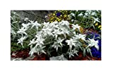 1x Alpen-Edelweiß - Leontopodium Alpinum-Pflanze Topf Garten Blume K-P13