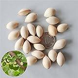 51byHFJ0vtL. SL160  - Ginkgo Samen beliebt in der TCM