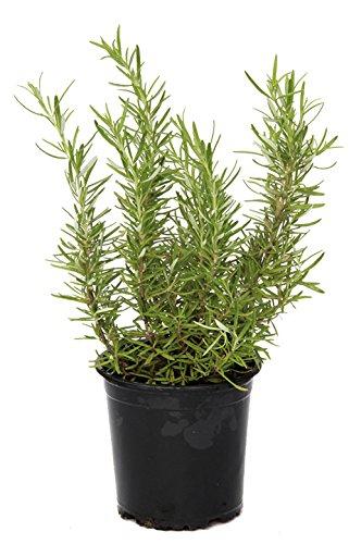 outlet-garden-romero-rosmarinus-officinalis-planta-aromatica-altura-30-centimetros-aproximado-conten