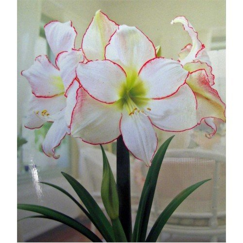 2 Amaryllis Picotee énorme ampoule 30-36 cm. Excellent Cadeau de vacances. facile Grow ampoules.