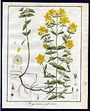 Hypericum perforatum - Echtes Johanniskraut Saint Johns wort Kräuter herbal Kupferstich engraving antique print -