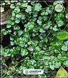 Semi Pinkdose Berro Crescione acquatico per i semi HomPinkdose Kitchen Garden vegetali 20Indoor, Outdoor Kitchen Garden piantare i semi Seed