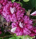 Waldrebe - Clematis viticella - Purpurea Plena Elegans - gefüllte attraktive Blüten - 40-60 cm