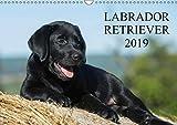 Labrador Retriever 2019 (Wandkalender 2019 DIN A3 quer): Labrador Retriever, eine der beliebtesten Hunderassen, auf 13 faszieniernden Fotos (Monatskalender, 14 Seiten ) (CALVENDO Tiere)